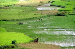 Culture du riz dans la Réserve d'Anja, près de Ambalavao,Madagascar - photo : Be