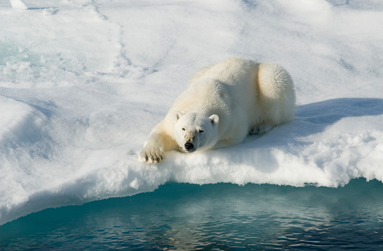 L'avenir de l'ours blanc