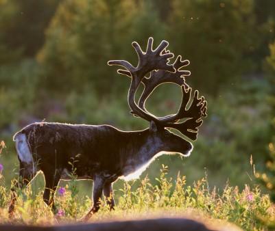 163631176-reindeer-bull-gettyimages