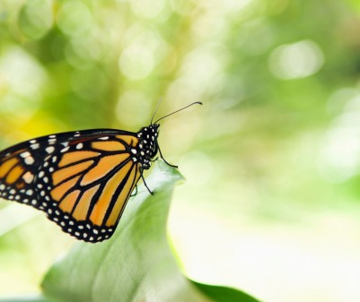 152401189-monarch-butterfly-perching-on-leaf-gettyimages
