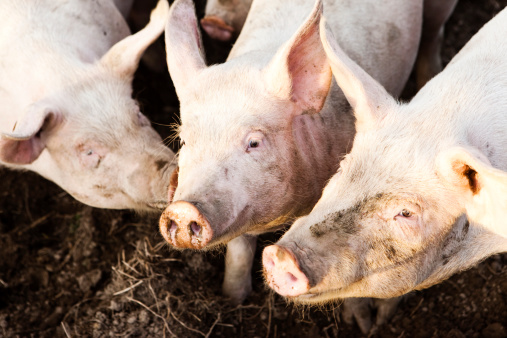 455473281-pigs-gettyimages