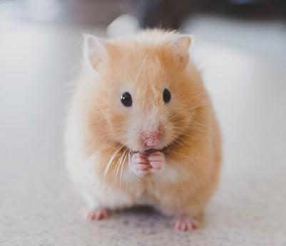 hamster-petit