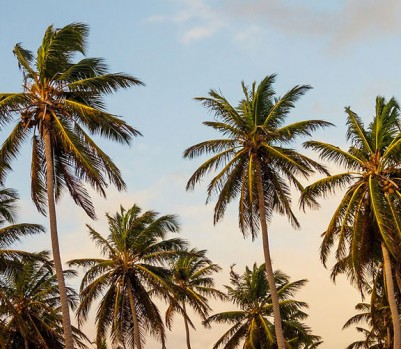 palmier-petit