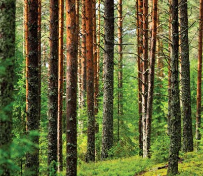 FORÊT Bois arbres sapin