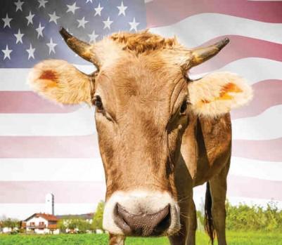 Lait vache américaine