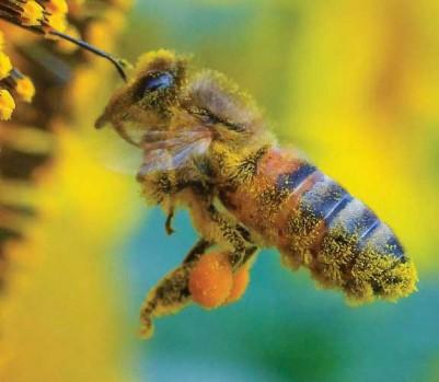 abeille pollen pollinisation tournesol